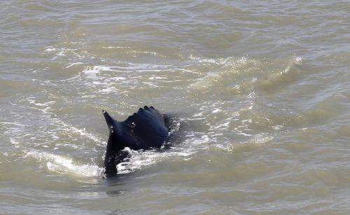Der Wal soll aus dem schlammigen, seichten Fluss voller Krokodile gelockt werden.AP