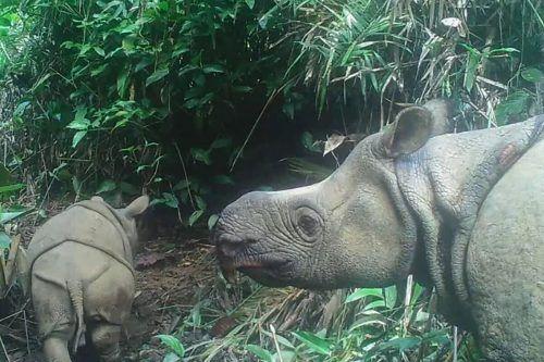 Die Entdeckung schürt Hoffnung auf Erholung der akut vom Aussterben bedrohten Tiere.AFP