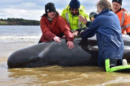 Die Hilfskräfte versuchten so viele Wale wie möglich zu retten. AFP