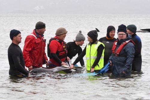 Ein Drittel der Meeressäuger verendet, so ein Sprecher der rund 60 Hilfskräfte. AFP