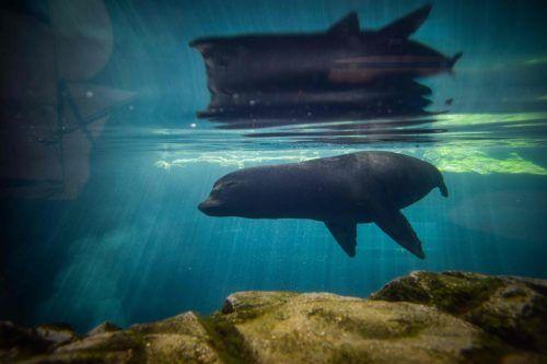 """Eine Robbe taucht im """"Aquarium of the Pacific"""" in Long Beach, dem größten Aquarium Südkaliforniens, durch das kühle Nass. AFP"""