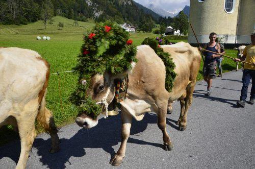 Festlich geschmückt kehrte das Vieh von der Alpe Dalaaser Spullers zurück.dob