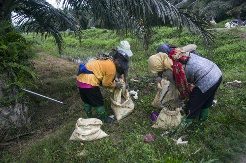 Frauen füllen auf einer Palmölplantage die von der Industrie heiß begehrten Früchte in Säcken ab. AP