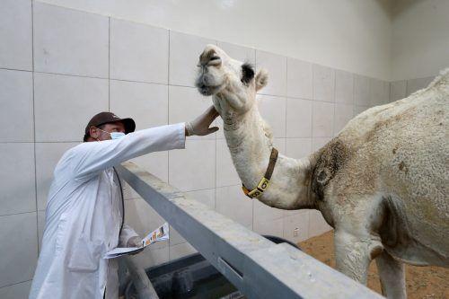 Gesundheitscheck für ein Kamel in Saudi Arabien. Mit dem Salam Veterinary Hospital in Buraidah wurde das größte Kamelspital eröffnet. RTS