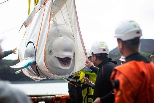 Im August wurden die Wale in ein Meeresgehege in der Klettsvik-Bucht gebracht. AFP