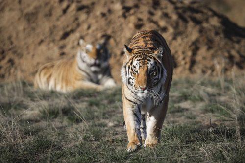In freier Wildbahn leben laut WWF derzeit etwa 3890 Tiger. AFP