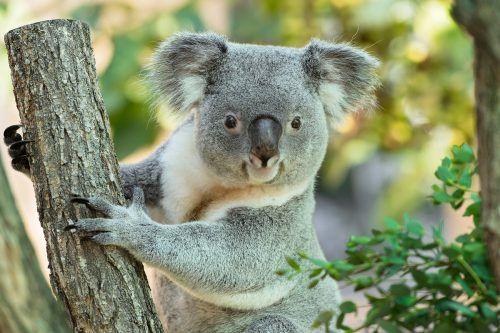 """Koala-Weibchen """"Bunji"""" versteckt ein Jungtier im Beutel. APA/TG Schönbrunn"""