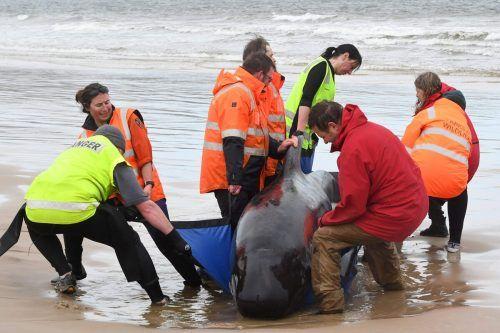 Rund 60 Helfer versuchen, die geschwächten Tiere wieder ins tiefe Wasser zu bringen. AFP