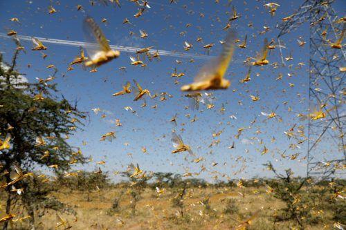Seit Ende letzten Jahres fallen Millionen von Heuschrecken über ganze Landstriche her.