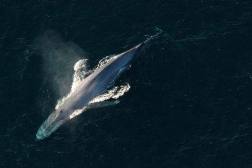 Blauwale können über 30 Meter lang und fast 200 Tonnen schwer werden. Reuters