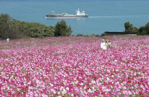 Ein Pärchen fotografiert sich inmitten einer atemberaubenden Blumenwiese im Nokonoshima Island Park auf Nokonoshima in Japan. AFP