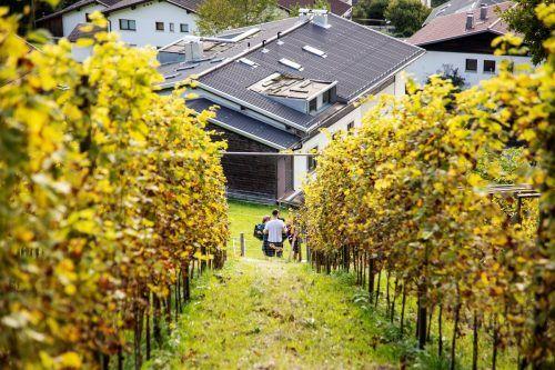 Malerisch präsentierte sich der Weingarten über den Dächern von Bludenz bei der ersten Weinlese.Meznar