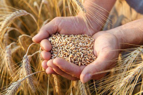 Neue Weizensorten sollen winterhart und widerstandsfähiger werden.Shutterstock