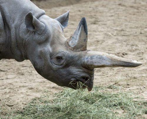 Spitzmaulnashorn Kilaguni wurde 46 Jahre alt. ZooBerlin
