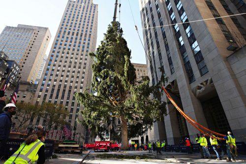 Ab 2. Dezember soll der Weihnachtsbaum am Rockefeller Center leuchten.AFP