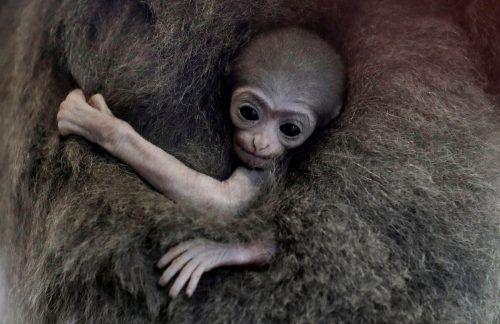 Das kleine Gibbonbaby klammert sich fest an seine Mama. Reuters