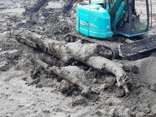 Der Baum hat sich gut 2000 Jahre im Untergrund erhalten. Gemeinde