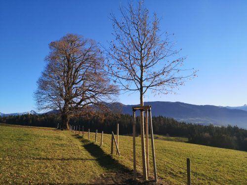 Der junge Lindenbaum im Vordergrund wird in einigen Jahren die 200-jährige Linde am Rotenberg ersetzen. Der Baum-Methusalem wird innen zusehends hohl und instabil.ME/2