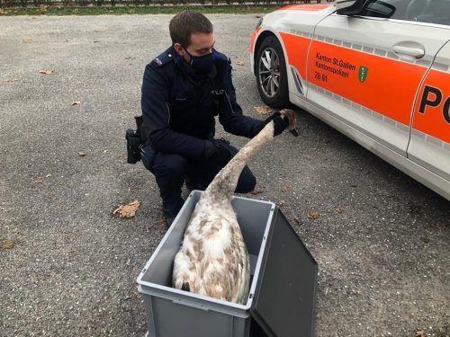 Der Schwan wurde in einer Kiste in den Walter Zoo gebracht. Kapo st. Gallen