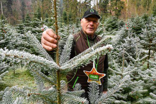 Die Bäume mit dem Ländle Christbaum-Gütesiegelsind in Vorarlberg gesetzt, gewachsen und geerntet worden. VN/Lerch