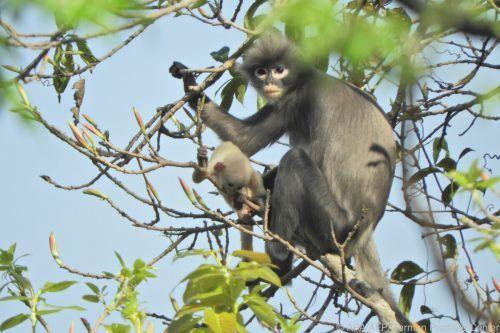 Die Popa-Languren-Population umfasst nur noch bis zu 250 Tiere. AFP