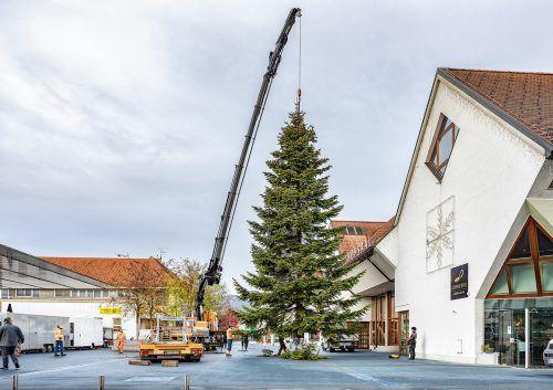 Ein Lustenauer Bürger spendete die stattliche Nordmanntanne der Gemeinde.Gemeinde