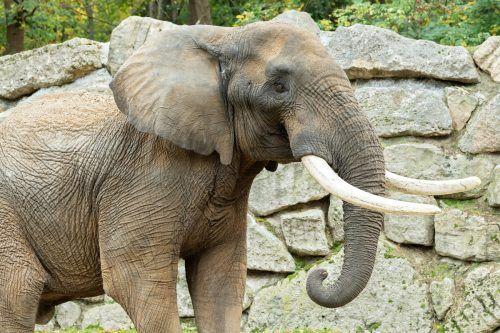 """Elefantenbulle """"Tembo"""" soll im Tiergarten Schönbrunn für Nachwuchs sorgen. APA"""