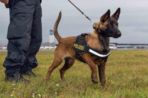 """Schäferhund """"Quattro"""" wird zum Polizeihund ausgebildet. APA"""