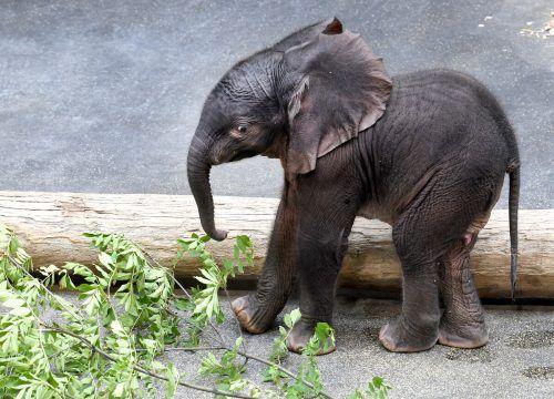 """Das Wort """"Babyelefant"""" setzte sich gegen """"Corona"""" durch. APA"""