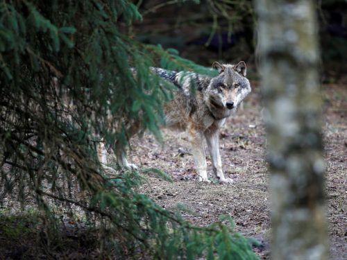 Die Wolfspopulation in Deutschland wächst stetig. reuters
