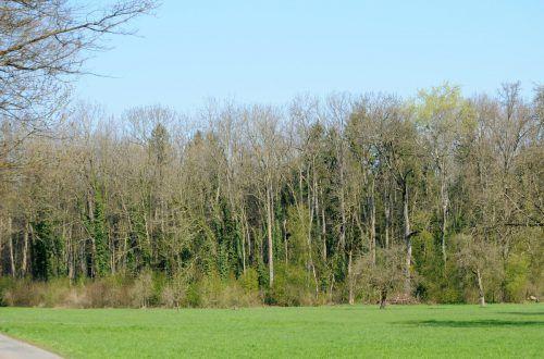 Eschensterben: in Gaißau müssen erkrankte Bäume entfernt werden.ajk