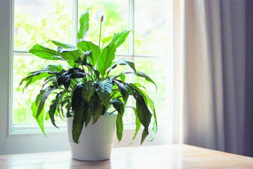 Mit Pflanzen können Sie das Innenraumklima positiv beeinflussen.iStock