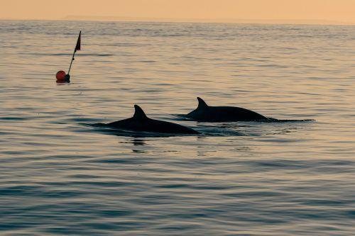 Schnabelwale gehören zu den Zahnwalen. Sie sind kleiner als viele andere Walarten.