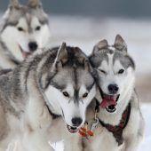 """<p class=""""factbox"""">Während einer Trainingseinheit im Schnee von Chelford, Großbritannien, geben diese Huskies alles. reuters</p>"""