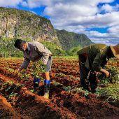 """<p class=""""factbox"""">Bauern arbeiten auf einem Feld in Viñales in der Pinar del Rio-Provinz auf der Insel Kuba. AFP</p>"""