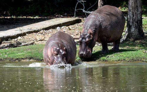 Die Nilpferde von Drogenbaron Pablo Escobar haben sich stark vermehrt. AFP