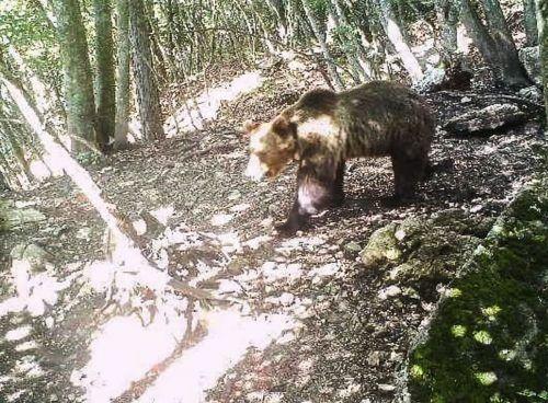 Tierschützer suchen seit Monaten eine Lösung für die Problembären von Casteller.