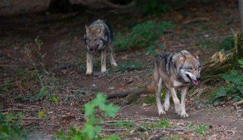 Der Wolf wird künftig auch bei uns wieder sesshaft. Darüber sind sich Experten einig. Problemlos ist das nicht. VN/Hartinger