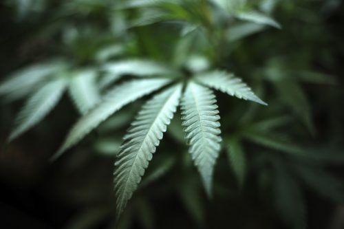 Die Beamten haben in einem Hotelgebäude 1420 Cannabispflanzen entdeckt. AP