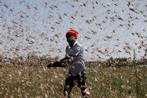 Einen Schwarm von unzählingen Wüstenheuschrecken versucht ein Mann auf einer Fam nahe Rumuruti in Kenia zu vertreiben. reuters