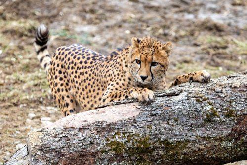 Einer der jungen Geparden im neuen Zuhause. APA/Herberstein, H. Schiffer