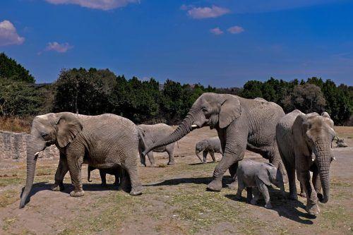 Elefanten sind bei Wilderern wegen ihrer Stoßzähne beliebt. AFP