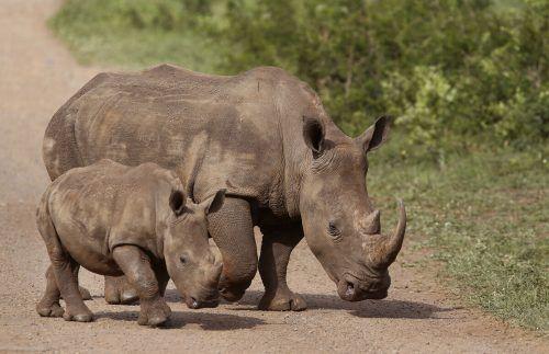 Südafrika ist die Heimat von rund 90 Prozent der globalen Nashorn-Bestände. AP