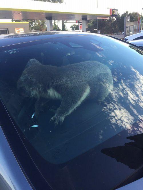 Neugierig erkundete der putzige Koala den Fond des Wagens und übernahm dann das Steuer. Die Tierrettung setzte ihn in den Adelaide Hills aus. AP/Zugwell