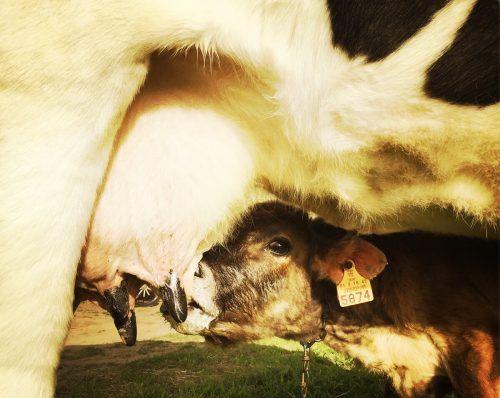 Sowohl beim Fleisch als auch bei der Milch gingen die Preise in den vergangenen Monaten den Keller. VN