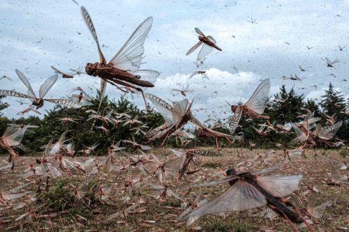 Die nahende Regenzeit begünstigt die Fortpflanzungschancen der Heuschrecken. AF