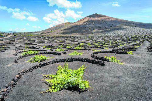In La Geria wird Wein angebaut. Die Rebstöcke wachsen tief im schwarzen, aschebedeckten Boden in mit Steinmauern geschützten Mulden.Turismo Lanzarote