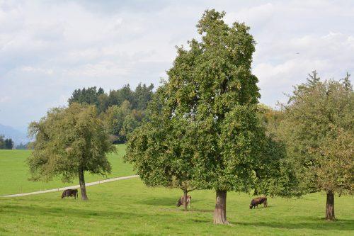 Mit der günstigen Ausgabe von Hochstammbäumen will die Stadt Dornbirn dazu beitragen, dass der urbane Raum grüner wird.Stadt