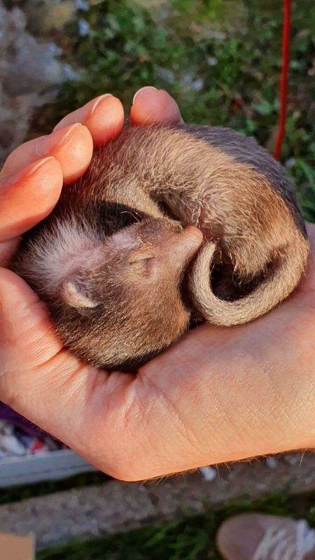 Auch ein verwaistes Marderbaby wird bei der Wildtierhilfe gesundgepflegt.