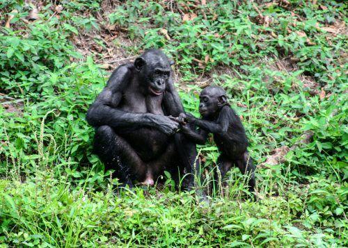Bonobosmütter helfen ihren Söhnen sogar beim ersten Sex z. B. (im Kampf) gegen ranghöhere Männchen.